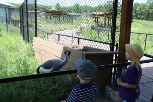 Black Crowned Crane found normally in Africa