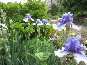 Beautiful irises at Allen Centennial Gardens