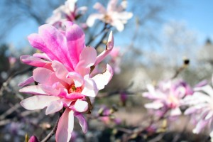 Magnolia at Olbrich Gardens