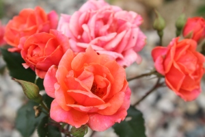 Carefree Celebration shrub rose.